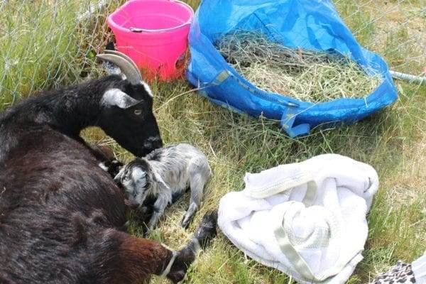 Baby goat was just born. Mama goat licking off her baby