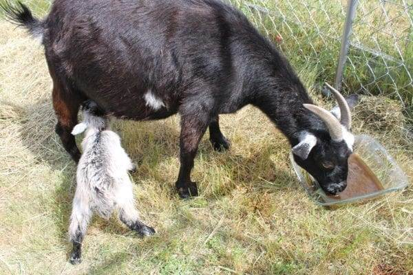 Mama goat drinking herbal tea after giving birth
