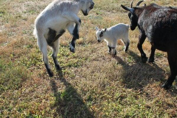 goat sisters meet for the first time